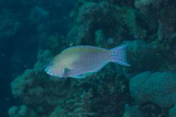BD-100924-Fury-Shoal-2254-Chlorurus-genazonatus-(Randall---Bruce.-1983)-[Sinai-parrotfish].jpg